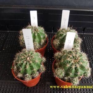 Echinopsis (JT15-62)