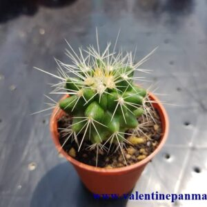 Echinocactus grusonii v alba (ถังเงิน)