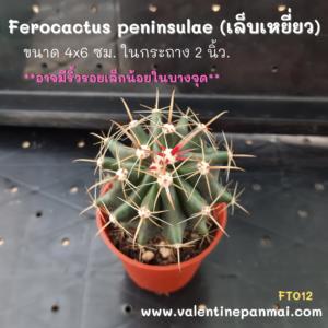 Ferocactus peninsulae (เล็บเหยี่ยว)