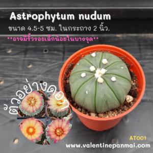 Astrophytum nudum