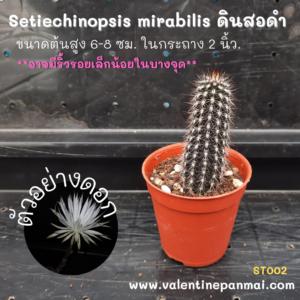 Setiechinopsis mirabilis (ดินสอดำ)