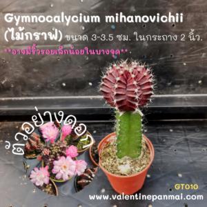 Gymnocalycium mihanovichii (ไม้กราฟ)