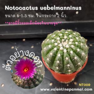 Notocactus uebelmanninus