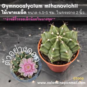Gymnocalycium mihanovichii ไม้เพาะเมล็ด