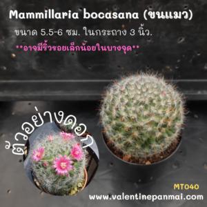 Mammillaria bocasana (ขนแมว)