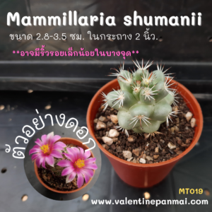Mammillaria shumanii